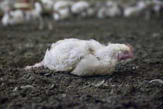 Experten sind empört über Einstellung des Tierschutzsskandals.