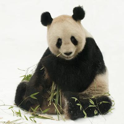 happy birthday panda vegan world. Black Bedroom Furniture Sets. Home Design Ideas